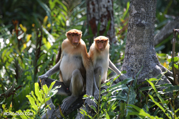 Proboscis monkeys in a mangrove forest [sabah_sepilok_0446]