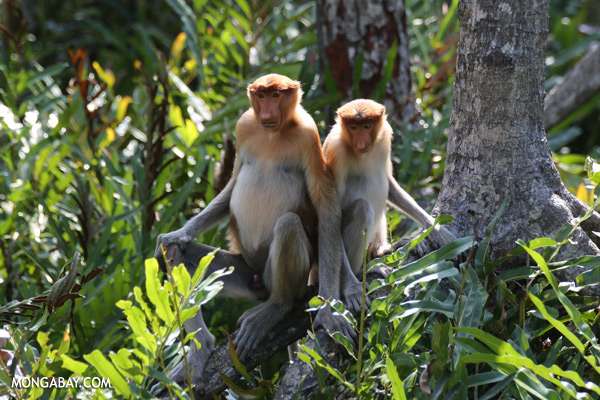 Proboscis monkeys in a mangrove forest [sabah_sepilok_0449]