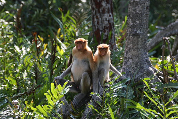 Endangered proboscis monkeys in Borneo