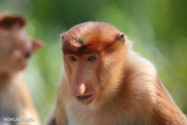 Male proboscis monkey [sabah_sepilok_0452]