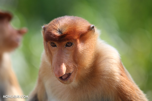 Proboscis monkey [sabah_sepilok_0453]