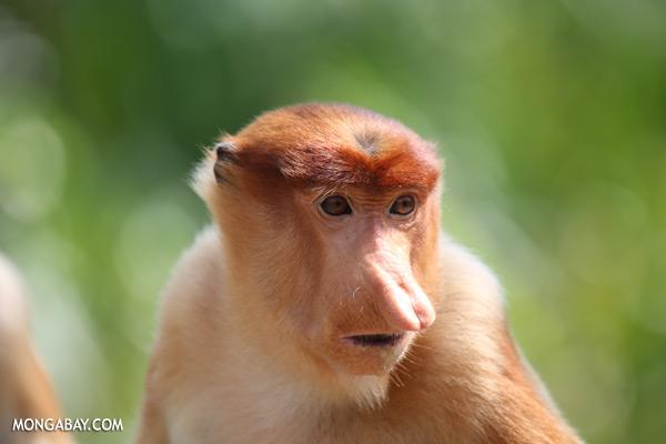 Proboscis monkey [sabah_sepilok_0455]
