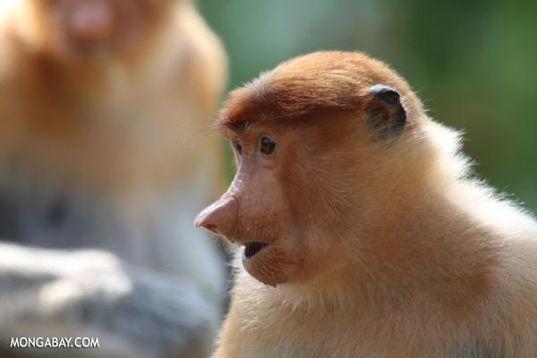 Male proboscis monkey [sabah_sepilok_0457]