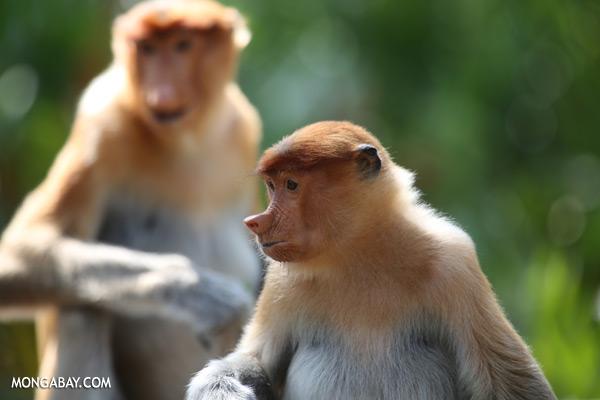 Male proboscis monkey [sabah_sepilok_0458]