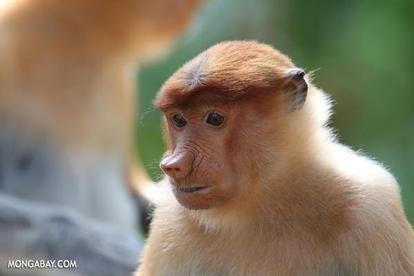 Male proboscis monkey [sabah_sepilok_0459]