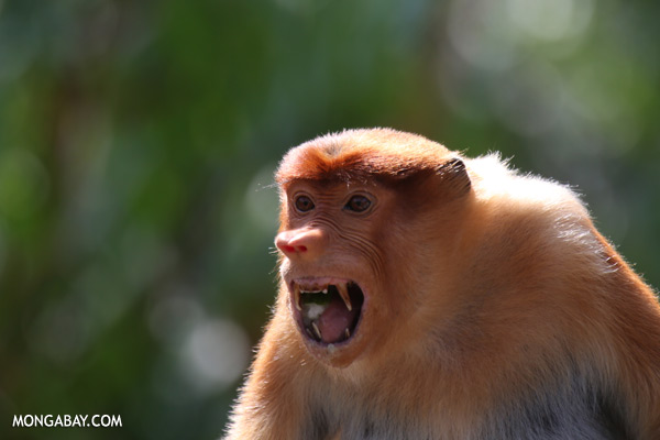 Proboscis monkey [sabah_sepilok_0466]