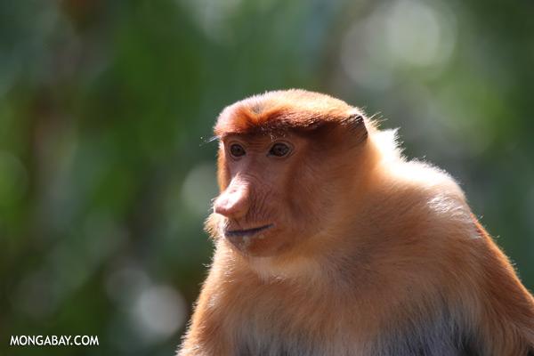Male proboscis monkey [sabah_sepilok_0467]
