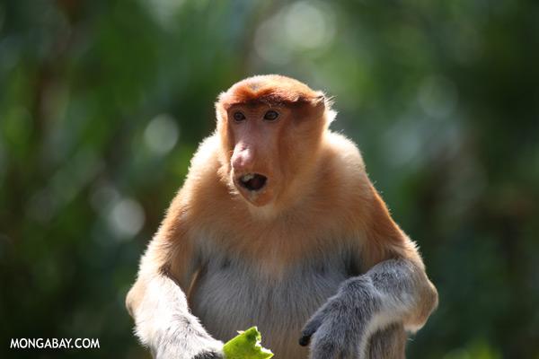 Male proboscis monkey [sabah_sepilok_0468]