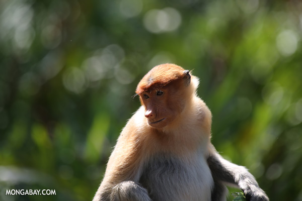 Male proboscis monkey eating