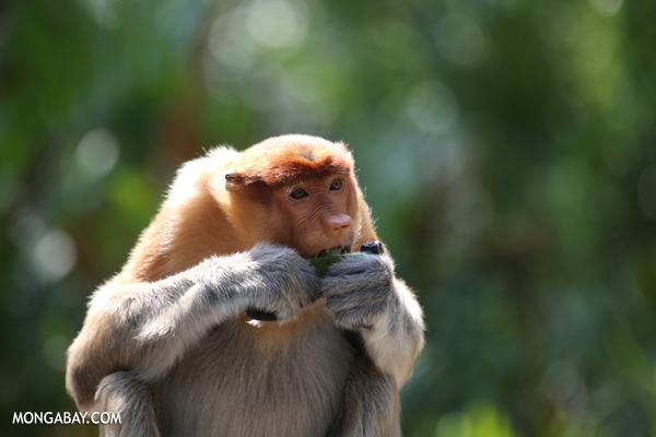 Male proboscis monkey [sabah_sepilok_0472]