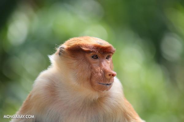 Proboscis monkey [sabah_sepilok_0475]