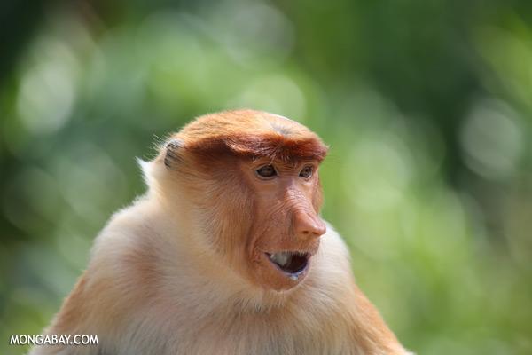 Male proboscis monkey [sabah_sepilok_0476]