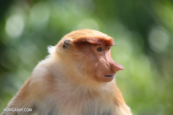 Male proboscis monkey [sabah_sepilok_0481]