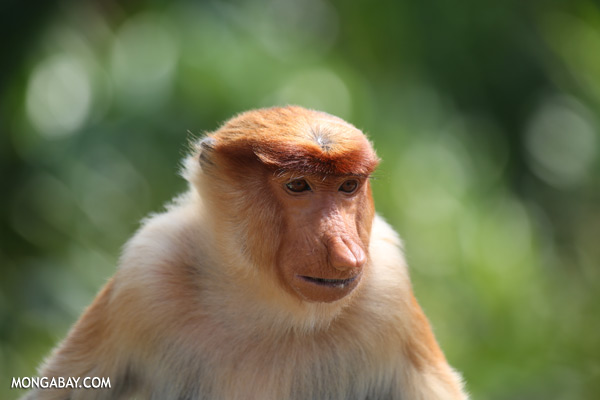 Male proboscis monkey [sabah_sepilok_0482]