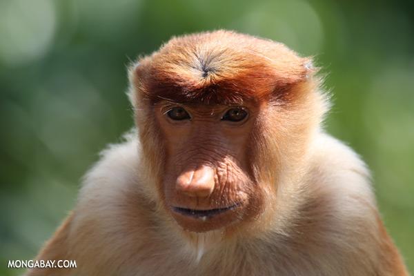 Male proboscis monkey [sabah_sepilok_0483]