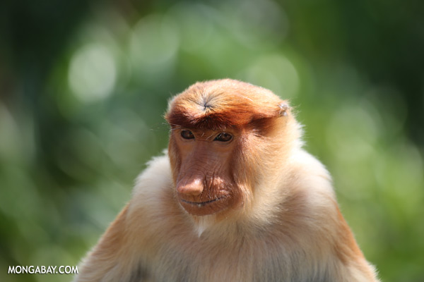 Male proboscis monkey [sabah_sepilok_0484]