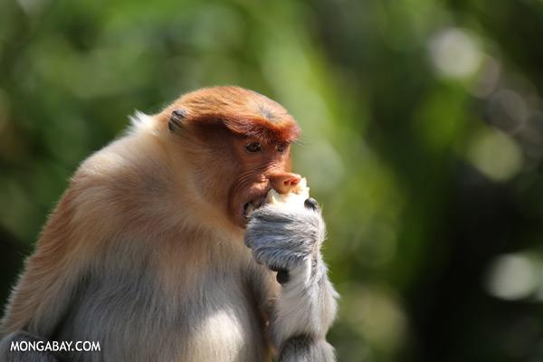 Male proboscis monkey [sabah_sepilok_0489]
