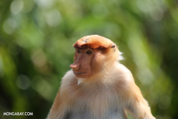 Male proboscis monkey [sabah_sepilok_0492]