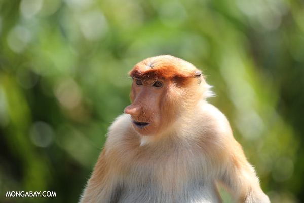 Male proboscis monkey [sabah_sepilok_0496]