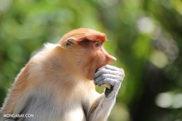 Male proboscis monkey [sabah_sepilok_0500]