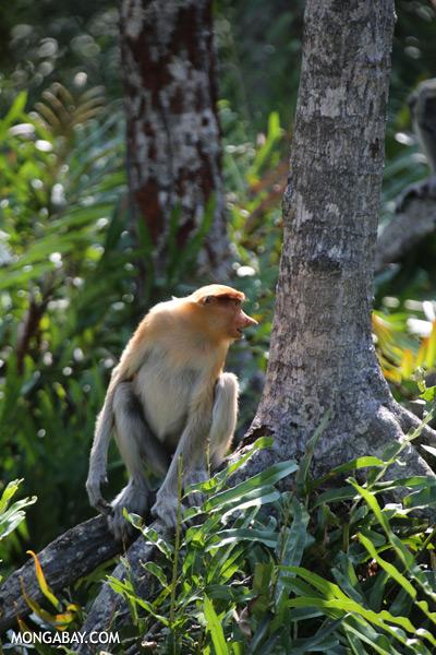 Male proboscis monkey [sabah_sepilok_0503]