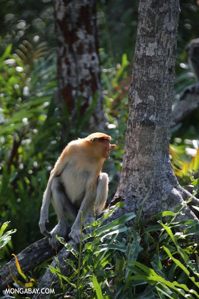 Male proboscis monkey [sabah_sepilok_0504]