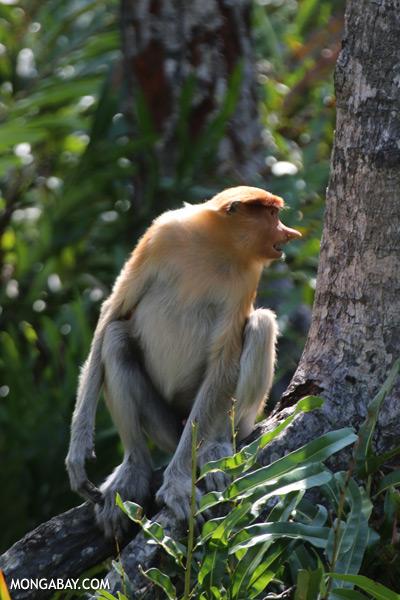 Male proboscis monkey [sabah_sepilok_0505]