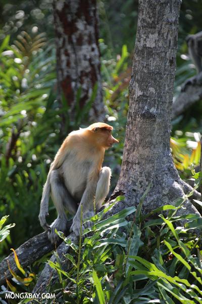 Male proboscis monkey [sabah_sepilok_0506]