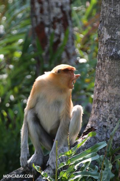 Male proboscis monkey [sabah_sepilok_0509]