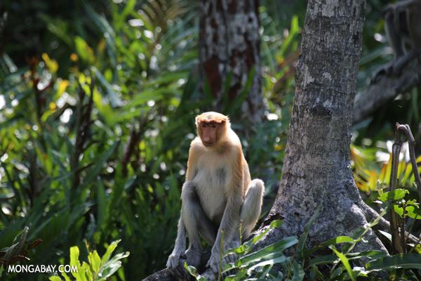 Male proboscis monkey [sabah_sepilok_0514]
