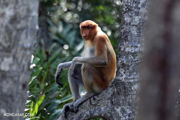Proboscis monkey [sabah_sepilok_0519]