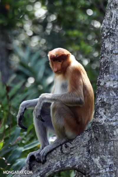 Male proboscis monkey [sabah_sepilok_0522]
