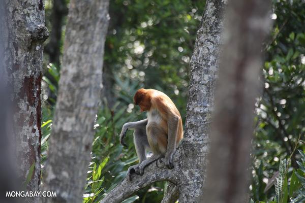 Male proboscis monkey [sabah_sepilok_0524]
