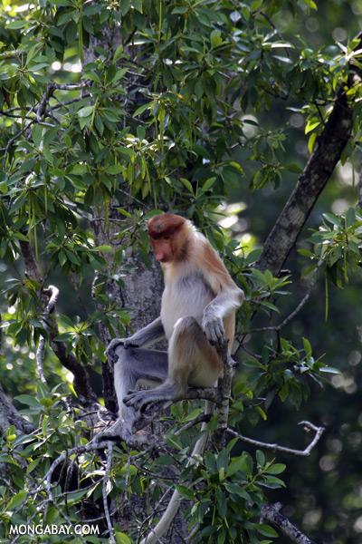 Male proboscis monkey [sabah_sepilok_0525]