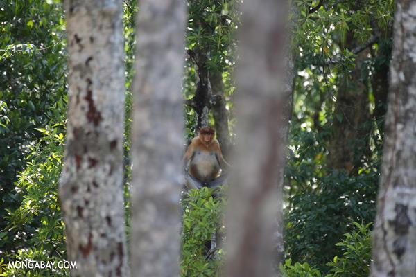 Male proboscis monkey [sabah_sepilok_0531]