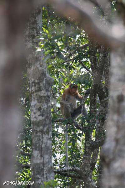 Male proboscis monkey [sabah_sepilok_0532]