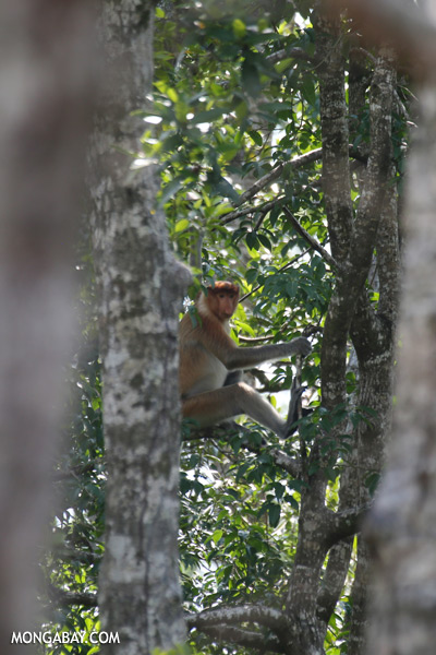 Male proboscis monkey [sabah_sepilok_0534]