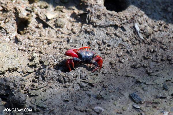 Mangrove crab [sabah_sepilok_0551]