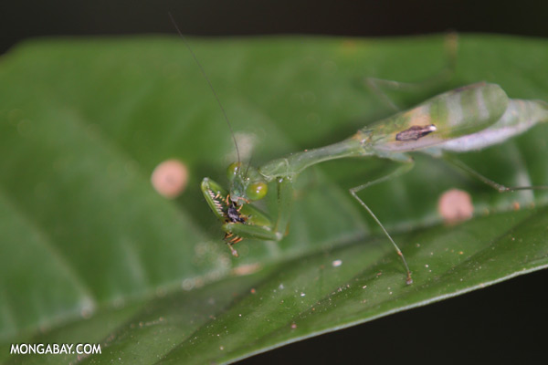 Green praying mantis [sabah_sepilok_0581]