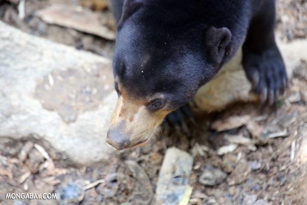 Borneo sun bear [sabah_sepilok_0604]