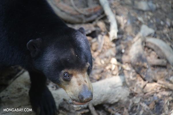 Borneo sun bear [sabah_sepilok_0606]