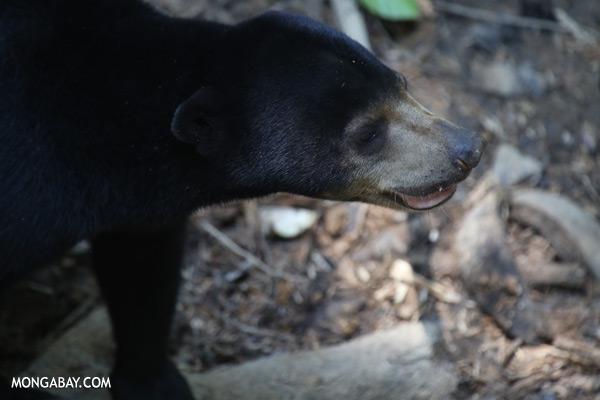 Borneo sun bear [sabah_sepilok_0610]