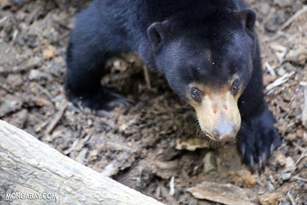 Borneo sun bear [sabah_sepilok_0612]