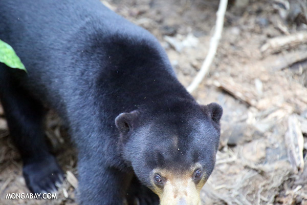 Borneo sun bear [sabah_sepilok_0616]