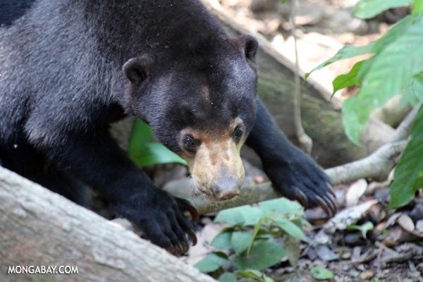 Borneo sun bear [sabah_sepilok_0619]