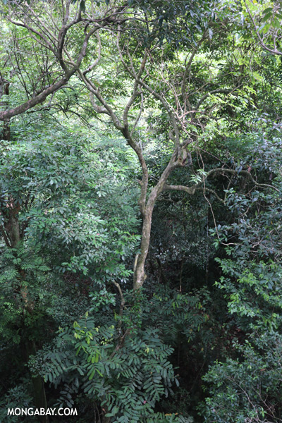 Borneo rainforest [sabah_sepilok_0653]