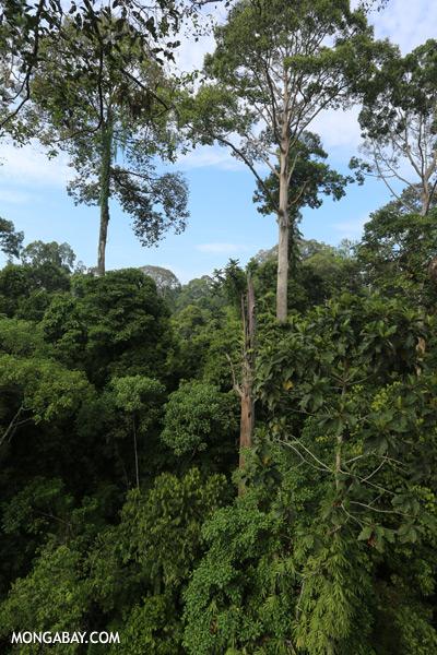 Borneo rainforest [sabah_sepilok_0663]