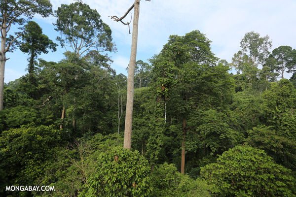 Borneo rainforest [sabah_sepilok_0668]