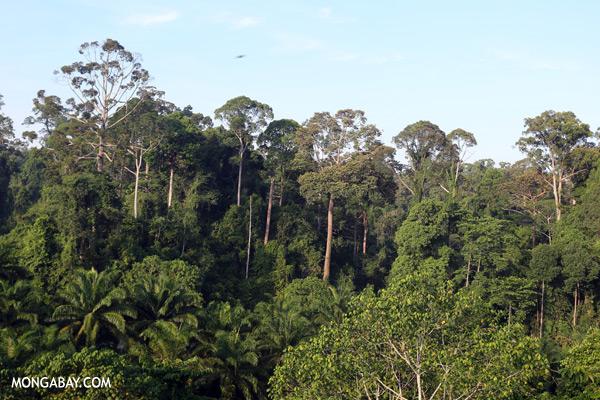 Oil palm plantation and rainforest border [sabah_sepilok_0686]