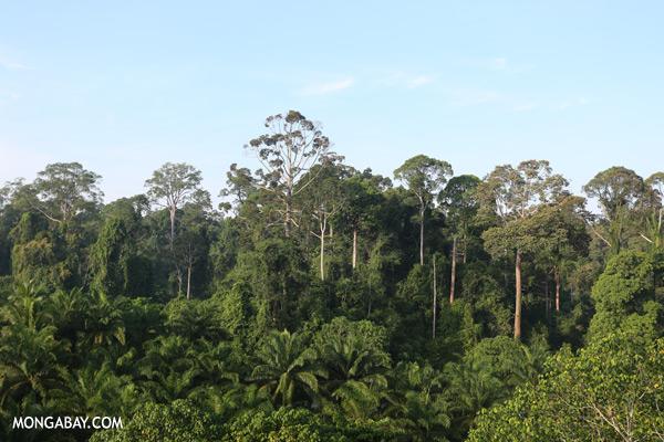Oil palm plantation and rainforest border [sabah_sepilok_0688]